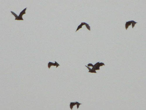 Flying Foxes 01